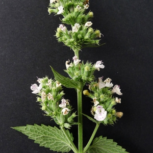 Photographie n°81542 du taxon Nepeta cataria L.