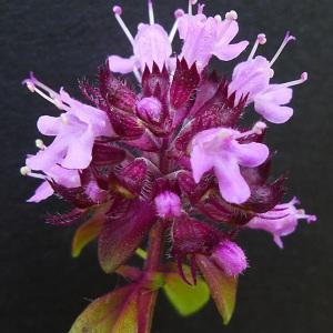 Thymus pulegioides L. (Thym de bergère)