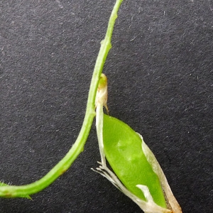 Photographie n°81558 du taxon Vicia villosa subsp. varia (Host) Corb. [1894]