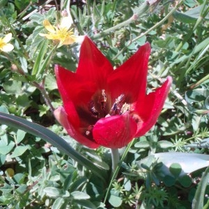 Photographie n°81582 du taxon Tulipa L. [1753]