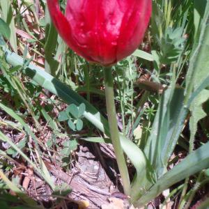 Photographie n°81583 du taxon Tulipa L. [1753]