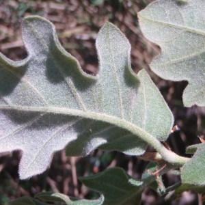 Photographie n°81613 du taxon Quercus pubescens Willd. [1805]
