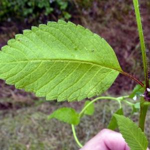 Photographie n°81663 du taxon Galeopsis tetrahit L.