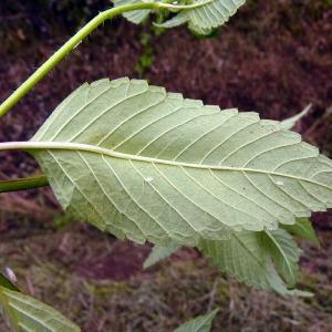 Photographie n°81665 du taxon Galeopsis tetrahit L.