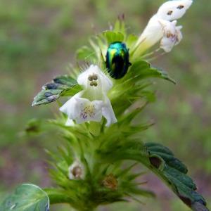 Photographie n°81671 du taxon Galeopsis tetrahit L.