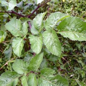 Photographie n°81745 du taxon Angelica sylvestris L. [1753]