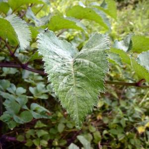 Photographie n°81749 du taxon Angelica sylvestris L. [1753]