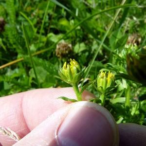 Jacobaea vulgaris subsp. dunensis (Dumort.) Pelser & Meijden (Séneçon nu)