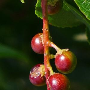 Photographie n°81807 du taxon Prunus serotina Ehrh. [1784]