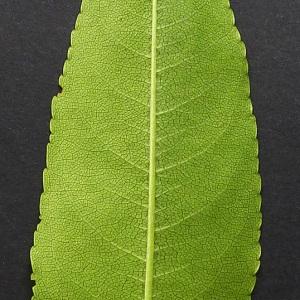 Photographie n°81809 du taxon Prunus serotina Ehrh. [1784]
