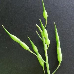 - Raphanus sativus L. [1753]