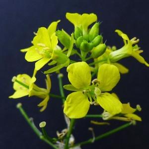 Sisymbrium loeselii L. (Sisymbre de Loesel)
