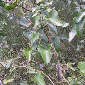 Photographie n°81827 du taxon Smilax aspera L. [1753]