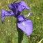 Gael LECHAPT - Iris latifolia (Mill.) Voss