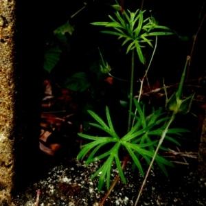 Photographie n°81902 du taxon Geranium columbinum L.
