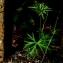 Bruno STIEN - Geranium columbinum L.