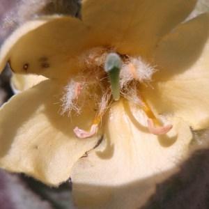 Photographie n°81952 du taxon Verbascum thapsus L.