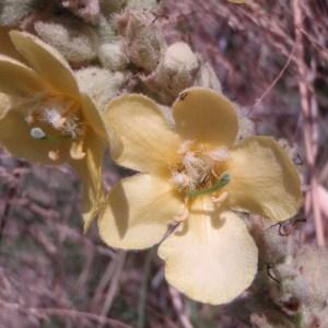 Photographie n°81954 du taxon Verbascum thapsus L.