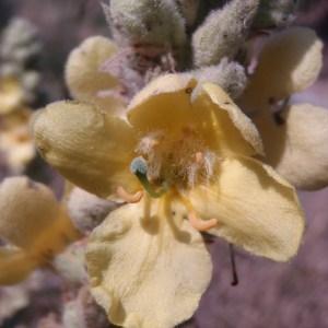 Photographie n°81959 du taxon Verbascum thapsus L.