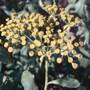 Bupleurum fruticosum L. (Buplèvre arbustif)