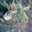 Genevieve Botti - Ononis viscosa L.