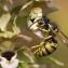 Epipactis helleborine (L.) Crantz [nn24403] par Philippe Burnel le 05/07/2011 - Canteleu