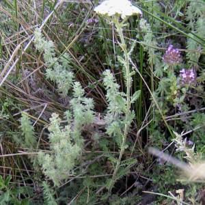 Photographie n°82011 du taxon Achillea odorata L.