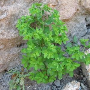 Photographie n°82035 du taxon Euphorbia peplus L. [1753]