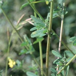 Photographie n°82098 du taxon Melilotus officinalis (L.) Lam. [1779]