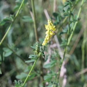 Photographie n°82099 du taxon Melilotus officinalis (L.) Lam. [1779]