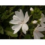 Malva moschata cv. Alba