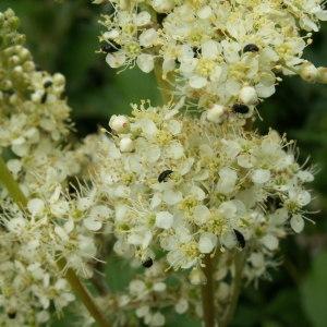 Filipendula ulmaria (L.) Maxim. (Fausse Spirée)