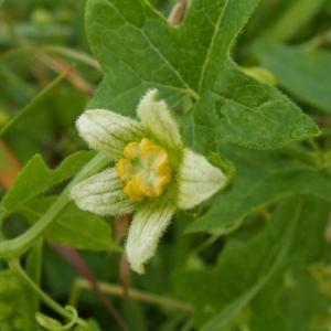 Photographie n°82150 du taxon Bryonia dioica Jacq. [1774]