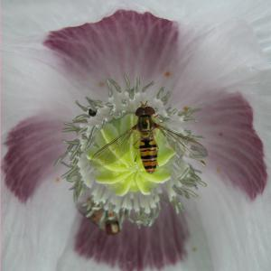Photographie n°82168 du taxon Papaver somniferum L. [1753]