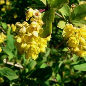Berberis vulgaris L. (Épine-vinette)