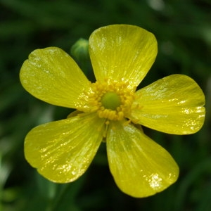 Ranunculus lingua L. (Grande Douve)