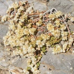 Photographie n°82354 du taxon Paronychia kapela (Hacq.) A.Kern. [1869]