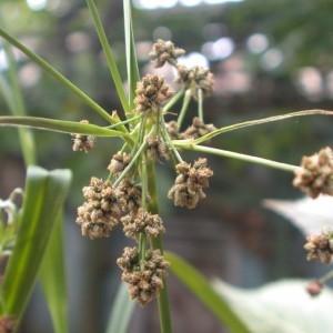 Photographie n°82397 du taxon Scirpus atrovirens Willd. [1809]