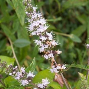 Mentha spicata L. (Menthe en épi)