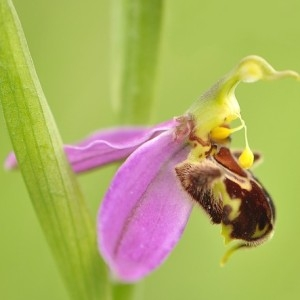 Photographie n°82420 du taxon Ophrys apifera Huds. [1762]