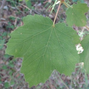 Photographie n°82486 du taxon Acer opalus Mill.