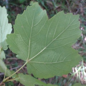 Photographie n°82487 du taxon Acer opalus Mill.