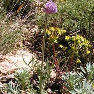 Photographie n°82801 du taxon Scabiosa columbaria subsp. columbaria