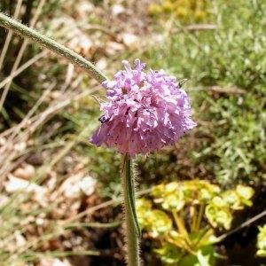 Photographie n°82802 du taxon Scabiosa columbaria subsp. columbaria