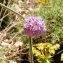 Alain Bigou - Scabiosa columbaria subsp. columbaria