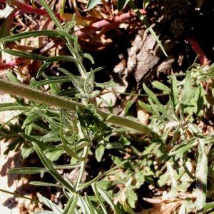 - Scabiosa columbaria subsp. columbaria