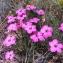 BERNADETTE BERTHET-GRELIER - Dianthus pavonius Tausch
