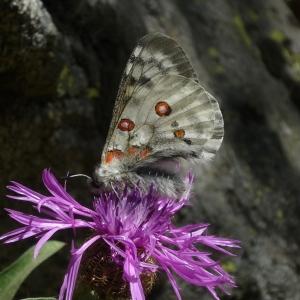 Photographie n°82845 du taxon Centaurea L. [1753]