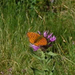 Photographie n°82846 du taxon Centaurea uniflora L.