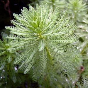 Myriophyllum aquaticum (Vell.) Verdc. (Myriophylle aquatique)
